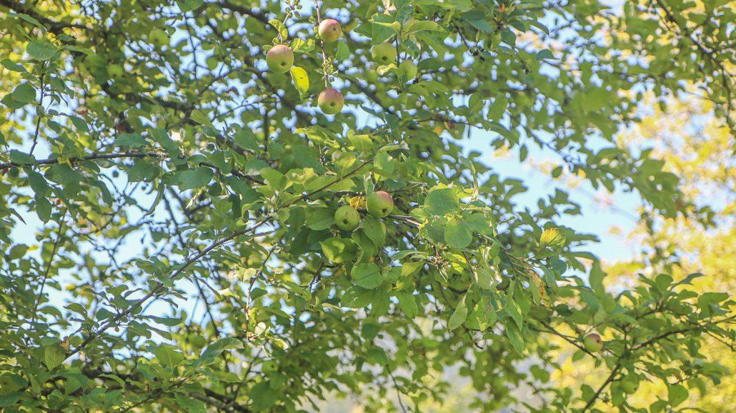 Sadje v drevesnici na marofu